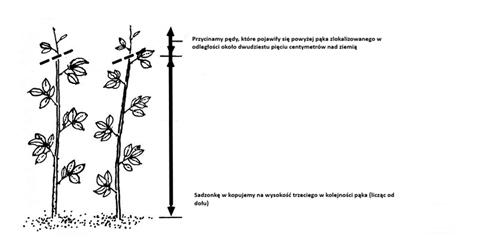 jak sadzić malilny?