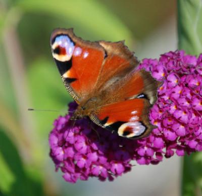 Rośliny wabiące motyle
