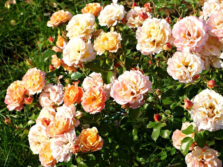 Róże rabatowe