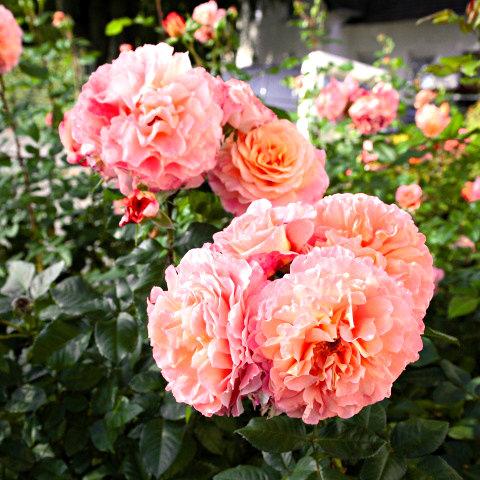 Róże dla kolekcjonerów