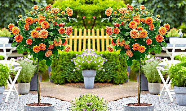 Róże szczepione na pniu