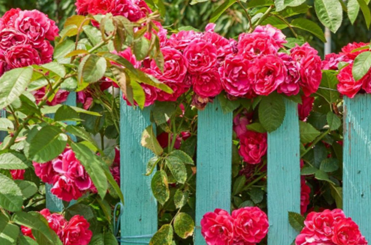 rustykalny ogrod - pnąca róża