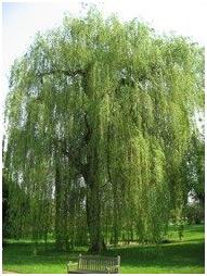 Wierzba biała Tristis płacząca Salix alba