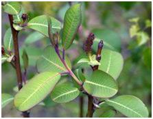 Wierzba wspaniała Magnifica szczepiona na pniu Salix magnifica