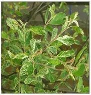 Wierzba szara Tricolor szczepiona na pniu Salix cinerea 'Tricolor'