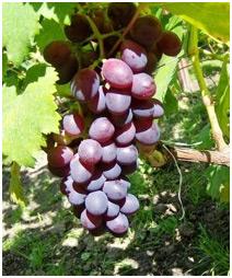 Letnie cięcie winorośli