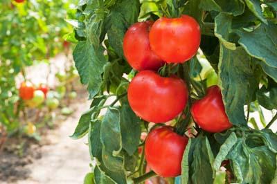 Amatorska Uprawa Pomidora