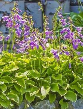 Funkia Hosta Golden Tiara