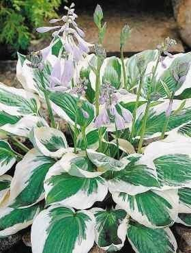 Funkia Hosta Patriot