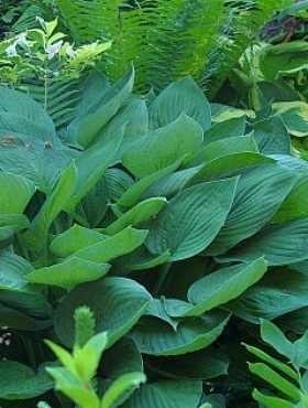 Hosta Funkia Fortune'a