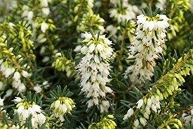 Wrzosiec Erica carnea White Perfection