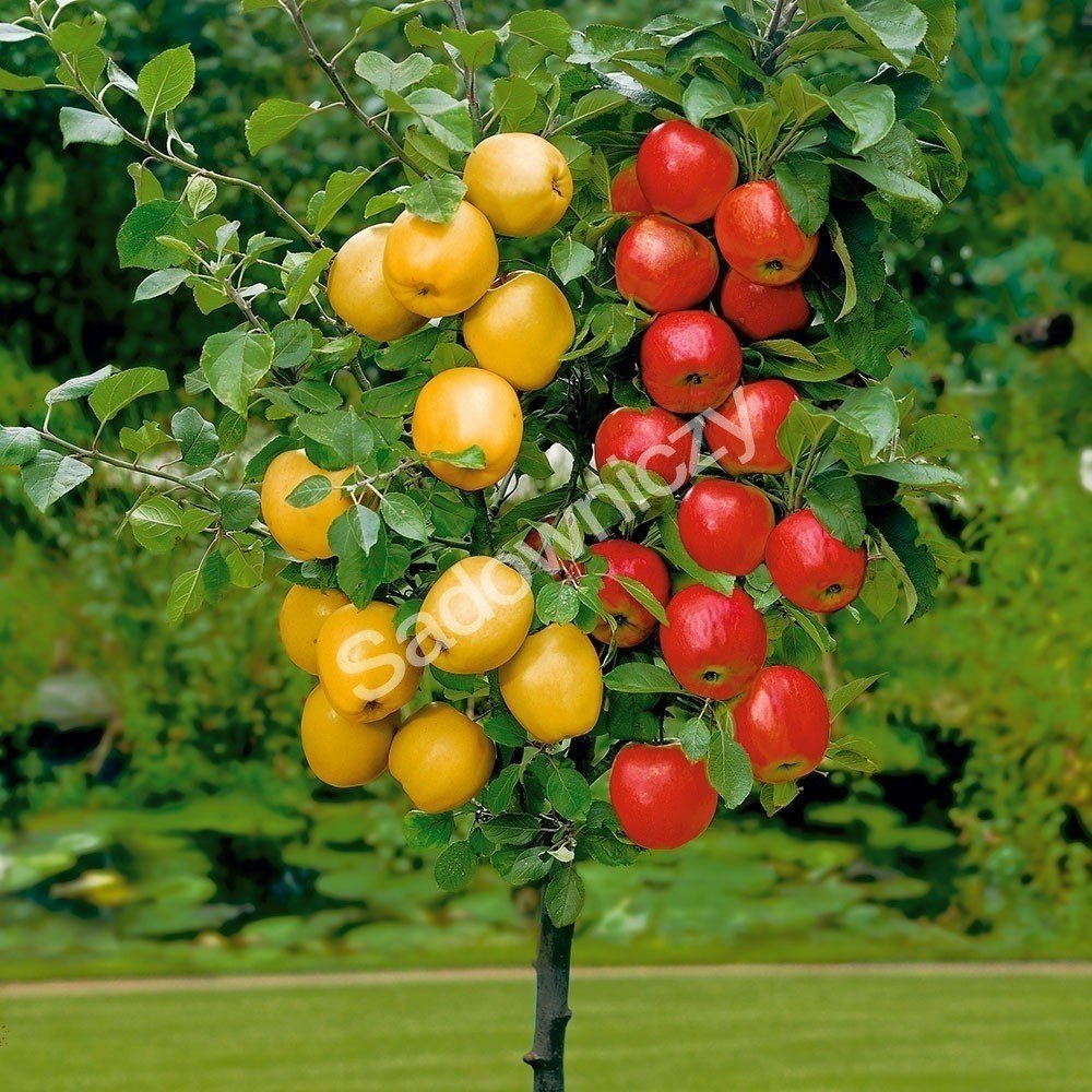 jabłoń Braeburn Bramley