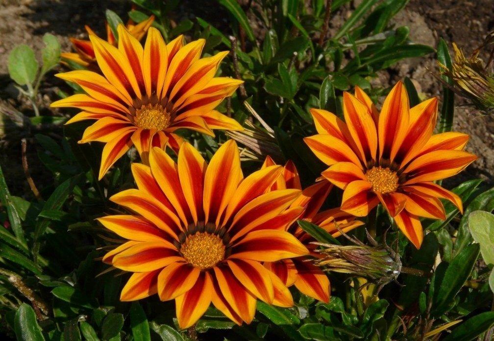 Kwiat Gazania Cena Odmiany Wysiew Uprawa Pielegnacja I Rozmnazanie