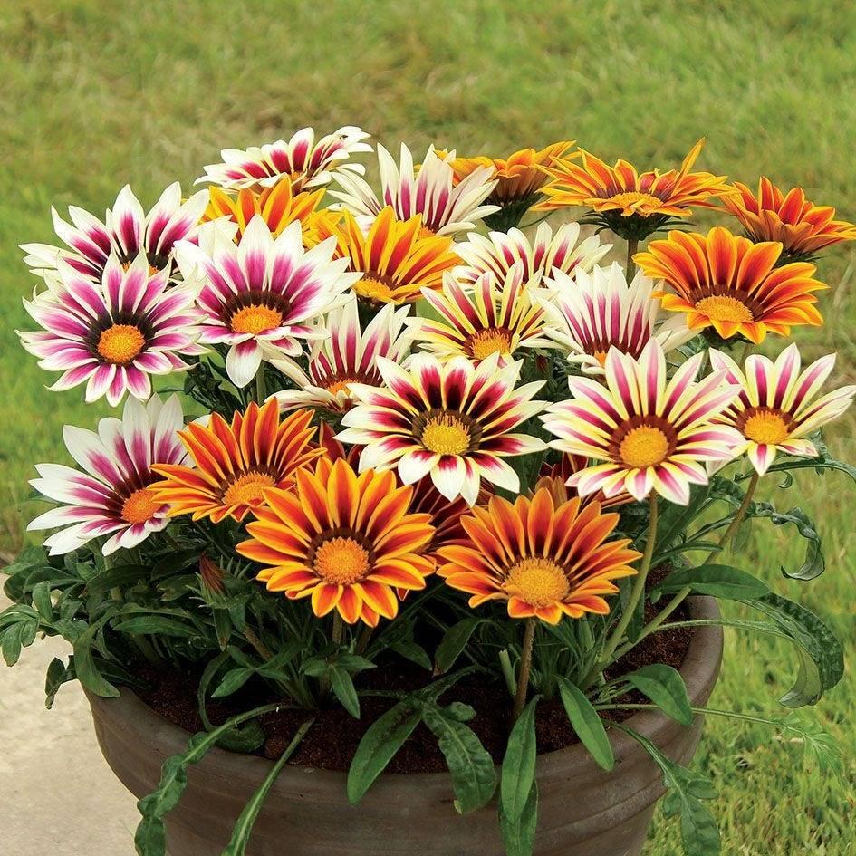 Gazania Kwiaty Otwarte W Dzien Zamkniete Noc Spiochy Mix Kolorow Sloneczny Kwiat Sadzonka Sadowniczy Pl