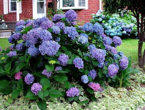 Hortensja ogrodowa w odmianach krzewy li ciaste zobacz for Ortensie in vaso