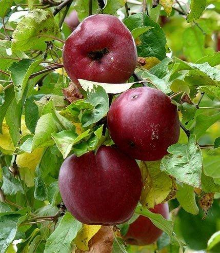 Jabłoń Malinowa