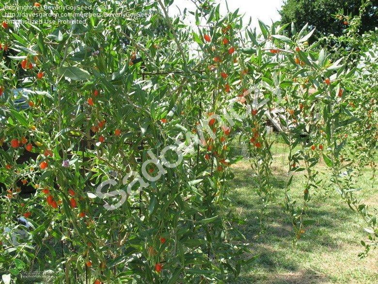 przycinanie jagody goji