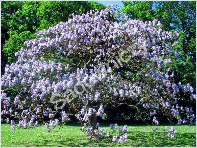 paulownia omszona cesarskie drzewko 0 1g nasiona nasiona kwiat w zobacz wszystkie nasiona. Black Bedroom Furniture Sets. Home Design Ideas