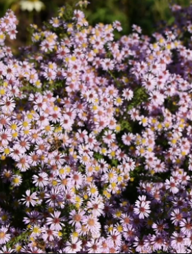 Aster wrzosolistny Lovely fioletowy