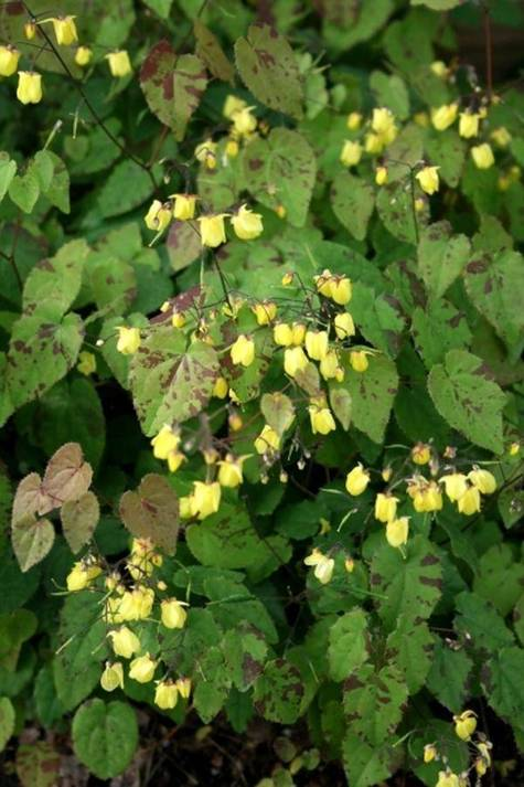 Epimedium Sunny and Share (ISU Awards 2020)