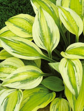 Funkia Hosta Captain's Adventure