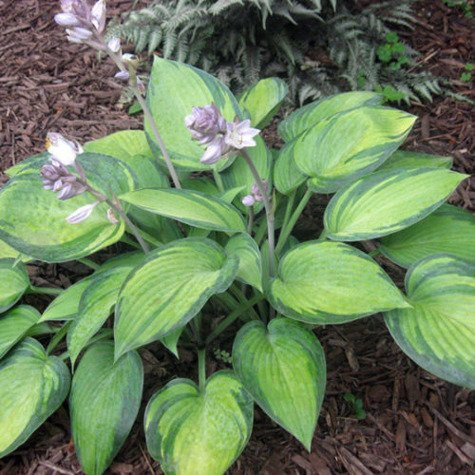 Funkia Hosta June