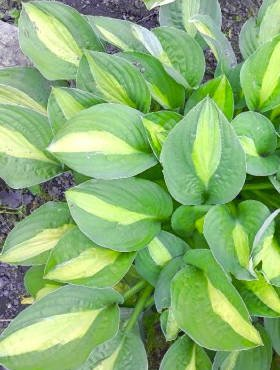 Funkia Hosta Snake Eyes