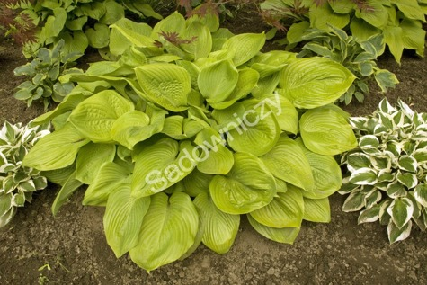 Funkia Hosta Sum and Substance