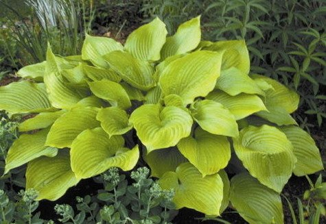 Funkia Hosta Sum and Substance (P9)