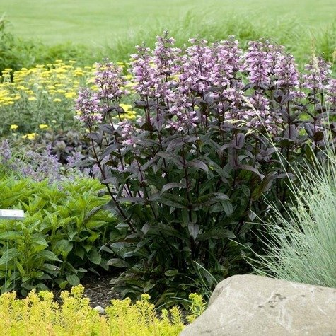 Penstemon Dark Towers (P9)