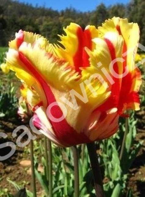Tulipan Papuzie Flaming Parrot