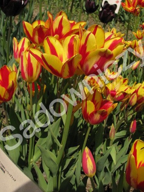 Tulipan Wielokwiatowy Colour Spectacle